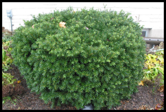 Toxic landscaping and the ubiquitous yew for Garden yew trees