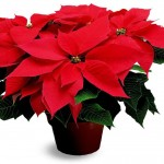 Poinsettia Plants – Poisonous or Not? Let's Put it to Rest