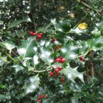 Winter Holiday Plants—Are they toxic?