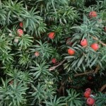 Toxic landscaping and the ubiquitous Yew