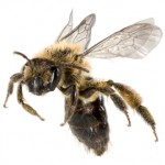 What's the Latest Buzz on Bee stings?